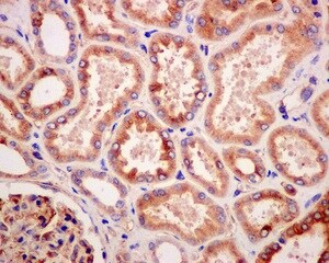 Immunohistochemistry (Formalin/PFA-fixed paraffin-embedded sections) - Anti-PUS1 antibody [EPR13235(B)] (ab175240)