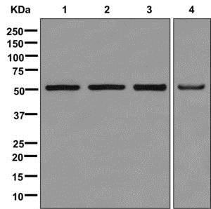 Western blot - Anti-PUS1 antibody [EPR13235(B)] (ab175240)