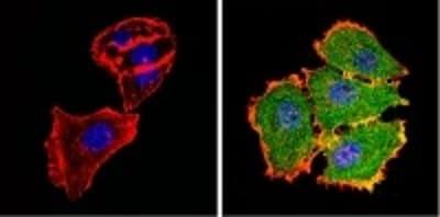 Immunocytochemistry/ Immunofluorescence - Anti-AKT2 antibody [4H7] (ab175354)