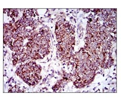 Immunohistochemistry (Formalin/PFA-fixed paraffin-embedded sections) - Anti-MRPL42 antibody [3H6H2] (ab175368)