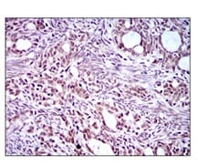 Immunohistochemistry (Formalin/PFA-fixed paraffin-embedded sections) - Anti-EKLF / KLF1 antibody [1B6A3] (ab175372)