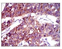 Immunohistochemistry (Formalin/PFA-fixed paraffin-embedded sections) - Anti-FATP2 antibody [6B3A9] (ab175373)
