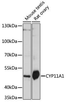 Western blot - Anti-CYP11A1 antibody (ab175408)