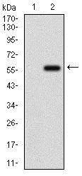 Western blot - Anti-GPNMB antibody [7C10E5] (ab175427)