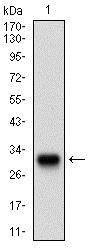 Western blot - Anti-Twist antibody [10E4E6] (ab175430)