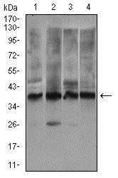 Western blot - Anti-Rex1 antibody [5E11E7] (ab175431)