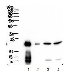 Western blot - Anti-Plunc antibody (ab175456)