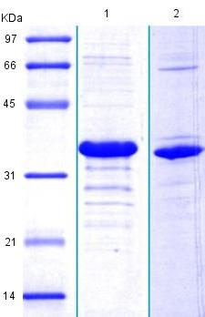 SDS-PAGE - Recombinant Human DAG1 protein (ab175460)
