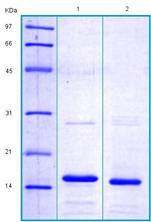 SDS-PAGE - Recombinant Human GNLY/Granulysin protein (ab175462)