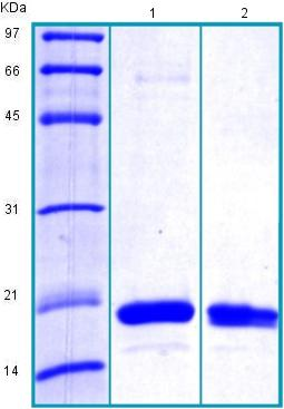 SDS-PAGE - Recombinant Human Cyclophilin A protein (BSA and azide free) (ab175466)