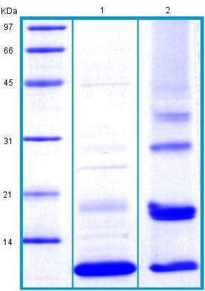 SDS-PAGE - Recombinant Human SCGB1D1 protein (BSA and azide free) (ab175467)
