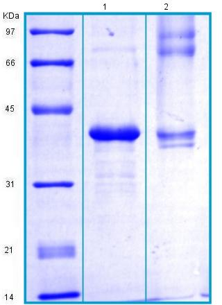 SDS-PAGE - Recombinant Human PON1 protein (BSA and azide free) (ab175468)