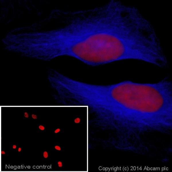 Immunocytochemistry/ Immunofluorescence - Goat Anti-Rabbit IgG H&L (Alexa Fluor® 405) preadsorbed (ab175654)