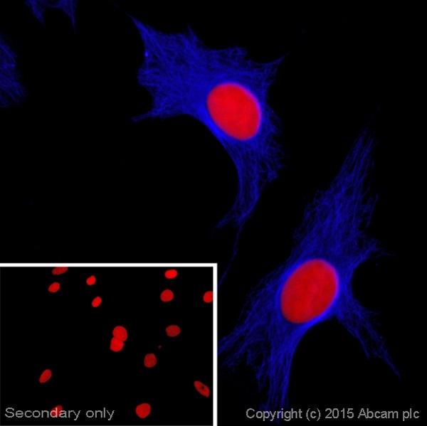 Immunocytochemistry/ Immunofluorescence - Rabbit Anti-Goat IgG H&L (Alexa Fluor® 405) (ab175667)