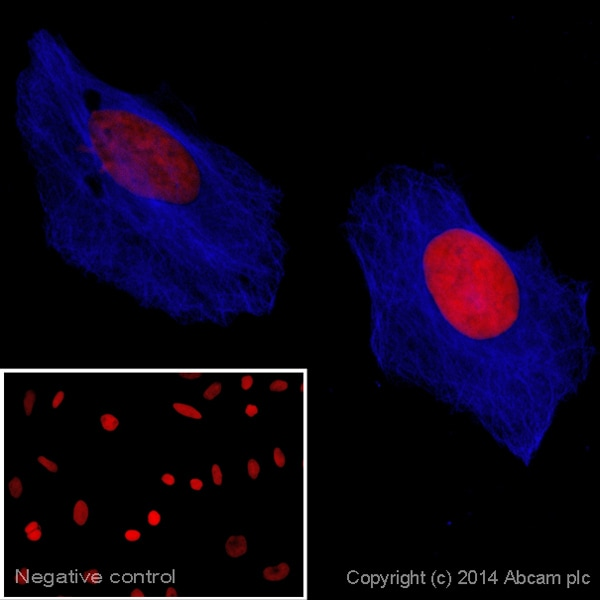 Immunocytochemistry/ Immunofluorescence - Goat Anti-Rat IgG H&L (Alexa Fluor® 405) preadsorbed (ab175673)