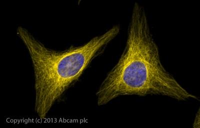 Immunocytochemistry/ Immunofluorescence - Goat Anti-Rabbit IgG Fc (Alexa Fluor® 568) (ab175697)