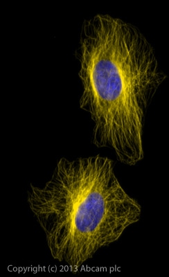 Immunocytochemistry/ Immunofluorescence - Donkey Anti-Mouse IgG H&L (Alexa Fluor® 568) preadsorbed (ab175700)
