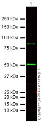 Western blot - Donkey Anti-Rat IgG H&L (Alexa Fluor® 750) preadsorbed (ab175750)