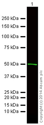Western blot - Rabbit F(ab')2 Anti-Mouse IgG H&L (Alexa Fluor® 750) (ab175762)