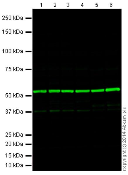 Western blot - Goat Anti-Mouse IgG H&L (Alexa Fluor® 790) (ab175783)
