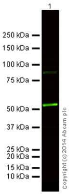 Western blot - Goat Anti-Rat IgG H&L (Alexa Fluor® 790) (ab175786)
