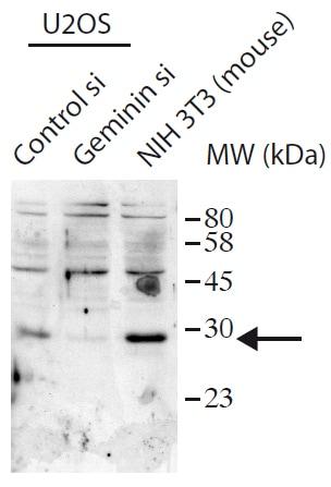 Western blot - Anti-Geminin antibody (ab175799)