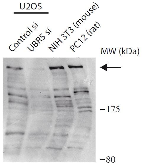 Western blot - Anti-EDD antibody (ab175810)