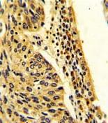 Immunohistochemistry (Formalin/PFA-fixed paraffin-embedded sections) - Anti-FPGS antibody (ab175849)