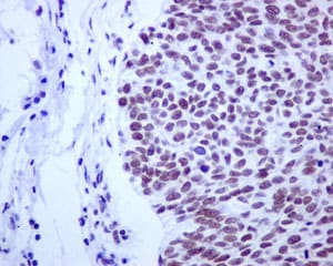 Immunohistochemistry (Formalin/PFA-fixed paraffin-embedded sections) - Anti-CDC40 antibody [EPR12539] (ab175924)