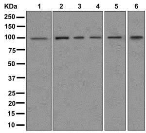 Western blot - Anti-CQ028 antibody [EPR12901] (ab175926)