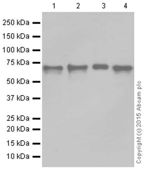 Western blot - Anti-NRF1 antibody [EPR5554(N)] - ChIP Grade (ab175932)
