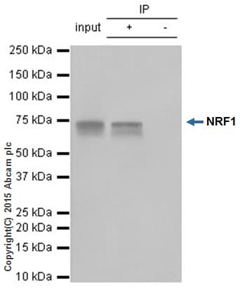 Immunoprecipitation - Anti-NRF1 antibody [EPR5554(N)] - ChIP Grade (ab175932)