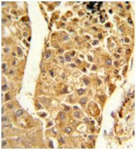 Immunohistochemistry (Formalin/PFA-fixed paraffin-embedded sections) - Anti-CYP2C18 antibody - C-terminal (ab175982)