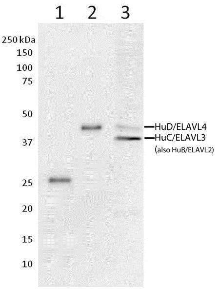 Western blot - Anti-HuB+HuC+HuD antibody [16A11C1D4] (ab176106)