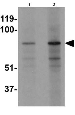 Western blot - Anti-EZH1 antibody - N-terminal (ab176115)