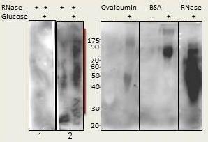 Western blot - Anti-AGE antibody (ab176173)