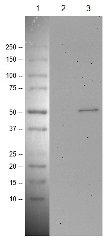 Western blot - Anti-p53 antibody [PAb 240] - BSA and Azide free (ab176243)