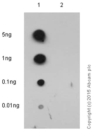 Dot Blot - Anti-Cdk2 (phospho Y15) antibody [EPR2233Y] - BSA and Azide free (ab176312)