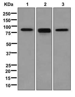 Western blot - Anti-KAT2B / PCAF antibody [EPR2670(N)] (ab176316)