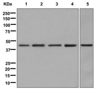 Western blot - Anti-Delta Opioid Receptor antibody [EPR5029(2)] (ab176324)