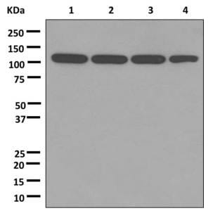 Western blot - Anti-PGC1 beta antibody [EPR12370] (ab176328)