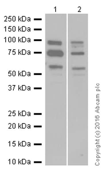 Western blot - Anti-KDEL antibody [EPR12668] (ab176333)