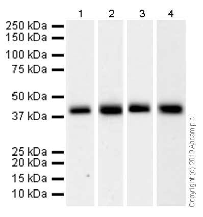 Western blot - Anti-SIRT6 antibody [EPR5079(N)] (ab176345)