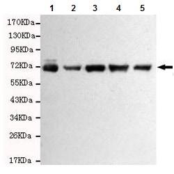 Western blot - Anti-RPA70 antibody [8C3-D12-H10] (ab176467)