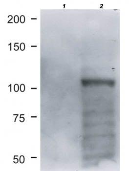 Western blot - Anti-BRIT1 antibody [AB11] (ab176524)