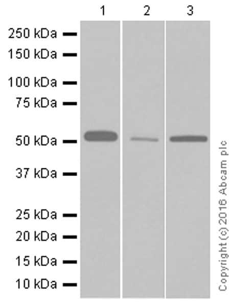Western blot - Anti-Nuf2 antibody [EPR13018(B)] (ab176556)