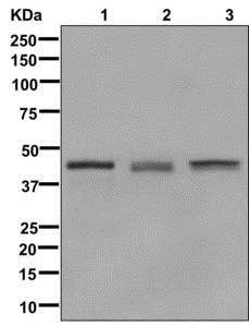 Western blot - Anti-Glutamine Synthetase antibody [EPR13022(B)] (ab176562)