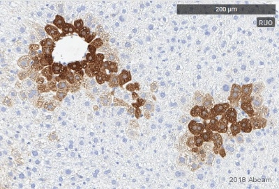 Immunohistochemistry (Formalin/PFA-fixed paraffin-embedded sections) - Anti-Glutamine Synthetase antibody [EPR13022(B)] (ab176562)