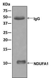 Immunoprecipitation - Anti-NDUFA1 antibody [EPR12083] (ab176563)