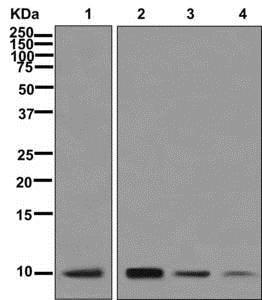 Western blot - Anti-NDUFA1 antibody [EPR12083] (ab176563)